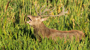 La berrea del ciervo resuena en el otoño asturiano