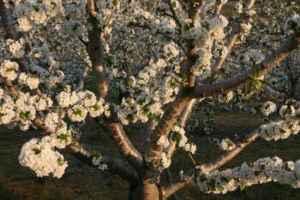 Ya es primavera en el Valle del Jerte