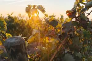Tiempo de vendimia en La Rioja