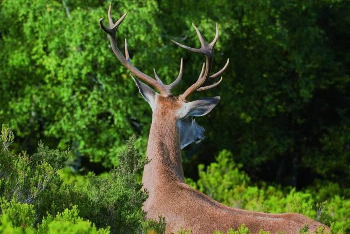 la-berrea-ciervo