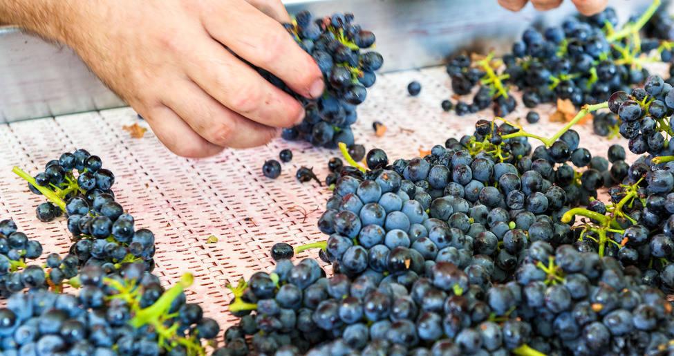 vendimia-uvas
