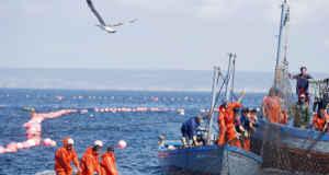 La Costa de Cádiz celebra la llegada del atún rojo