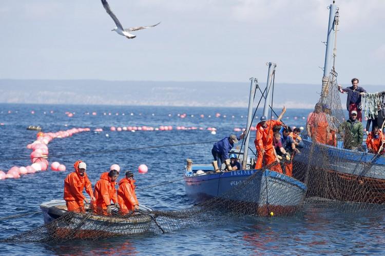 Pesca del atún rojo. Foto Oscar Chamorro