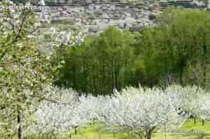 La belleza del cerezo en flor