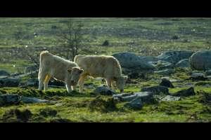 Vacas en Curota