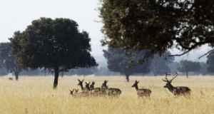 berrea-ciervo